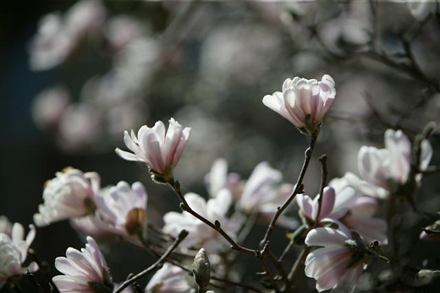 Picture of Magnolia stellata  Star Magnolia