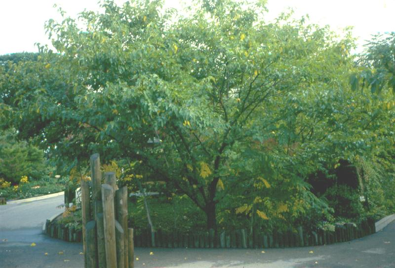Picture of Morus alba 'Stribling' Stribling Mulberry