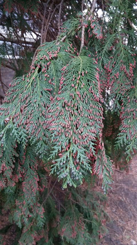 Chamaecyparis lawsoniana plantplacesimage020140317_222021.jpg