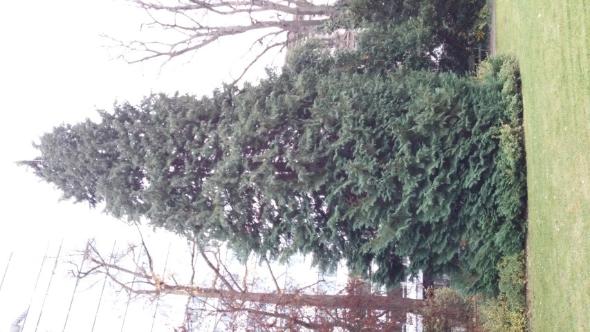 Chamaecyparis lawsoniana plantplacesimage20141121_135506.jpg