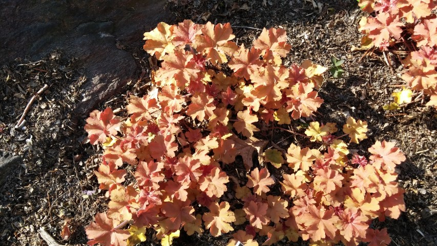 Heuchera sp. plantplacesimage20150501_163838.jpg