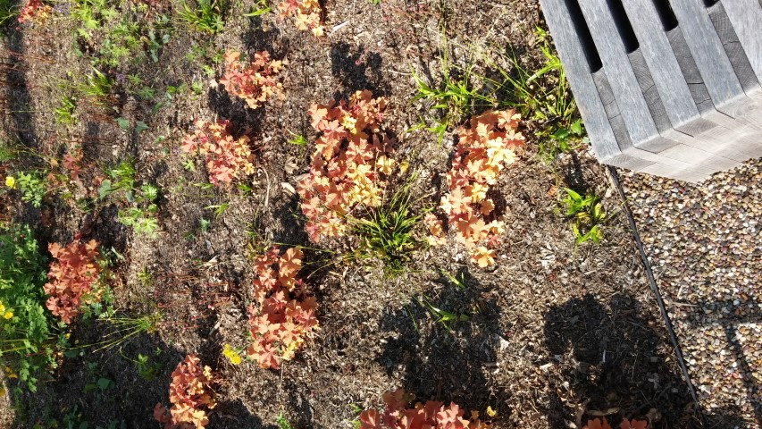 Heuchera sp. plantplacesimage20150501_163915.jpg