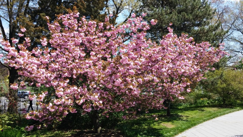 Prunus sp. plantplacesimage20150502_135527.jpg
