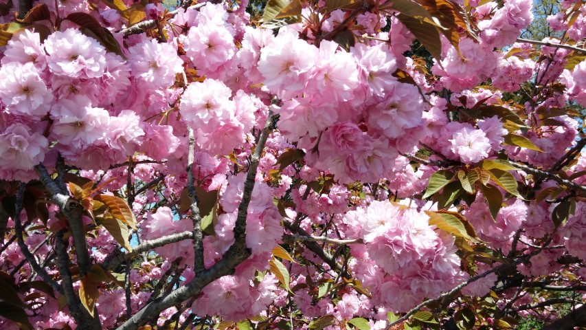 Prunus sp. plantplacesimage20150502_135602.jpg