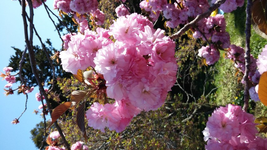 Prunus sp. plantplacesimage20150502_155329.jpg