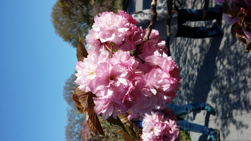Prunus sp. plantplacesimage20150502_155340.jpg