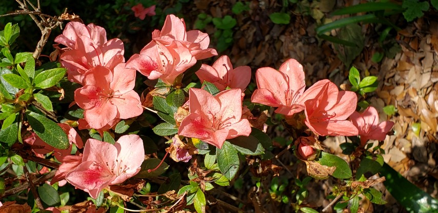 Rhododendron x indica plantplacesimage20190413_141805.jpg