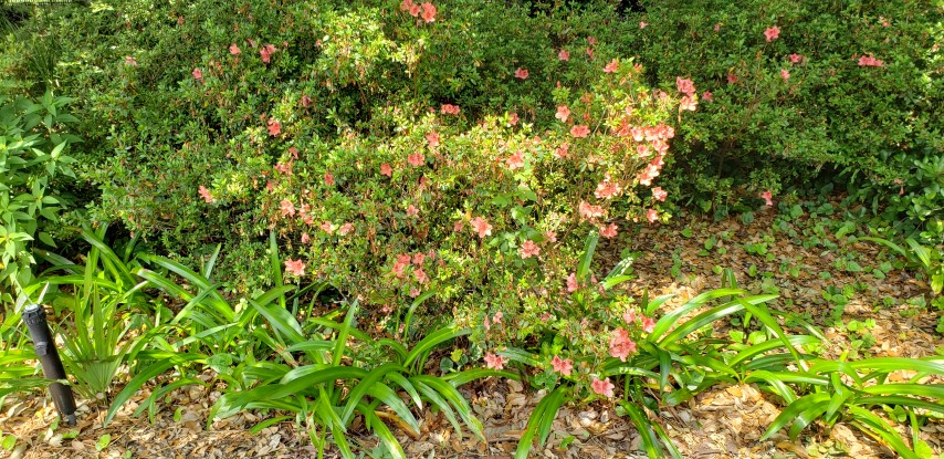Rhododendron x indica plantplacesimage20190413_141819.jpg