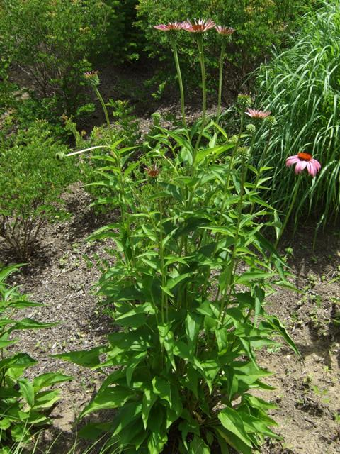Picture of Echinacea purpurea 'Rubenstern' Ruby Star Coneflower