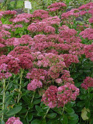 Picture of Sedum x 'Autumn Fire' Autumn Fire Stonecrop