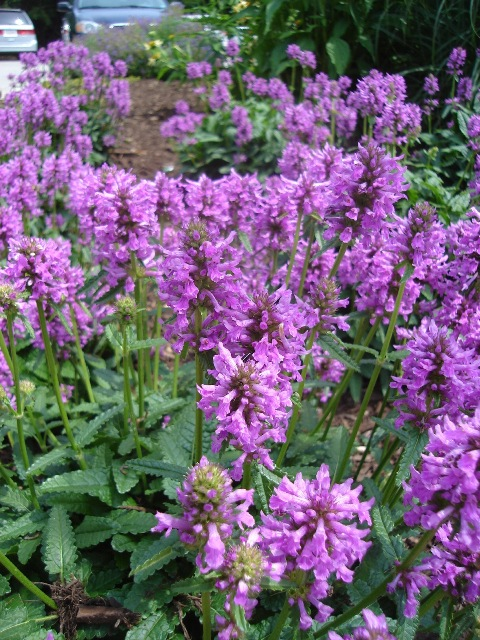 Picture of Stachys officinalis  Wood Betony