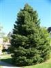 Photo of Genus=Picea&Species=pungens&Common=Colorado Spruce&Cultivar=
