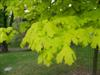 Photo of Genus=Acer&Species=platanoides&Common=Princeton Gold Norway Maple&Cultivar='Princeton Gold'