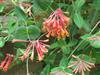 Photo of Genus=Lonicera&Species=sempervirens&Common=Blanche Sandman Trumpet Honeysuckle&Cultivar=Blanche Sandman