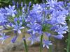 Photo of Genus=Agapanthus&Species=praecox&Common=Common Agapanthus&Cultivar=praecox