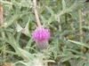 Photo of Genus=cirsium&Species=serrulatum&Common=Cirsium&Cultivar=
