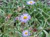 Photo of Genus=Erigeron&Species=formosissimus&Common=Beautiful Fleabane&Cultivar=viscidus