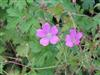 Photo of Genus=Geranium&Species=endressii&Common=Endress cranesbill&Cultivar=