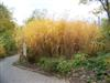 Photo of Genus=Miscanthus&Species=&Common=Giant Silver Grass&Cultivar='Giganteus'