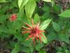 Photo of Genus=Monarda&Species=didyma&Common=Beebalm, Oswego Tea, Bergamot&Cultivar=