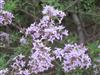 Photo of Genus=Syringa&Species=persica&Common=Persian Lilac&Cultivar=lacinata