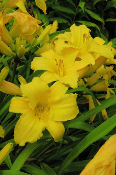 Photo of Genus=Hemerocallis&Species=&Common=Mary Todd Daylily&Cultivar='Mary Todd'