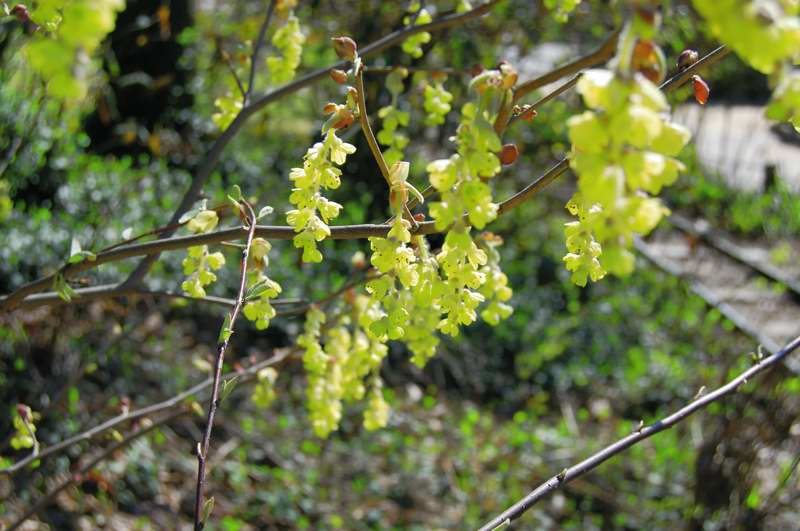 Photo of Genus=Corylopsis&Species=platypetala&Common=Winter Hazel&Cultivar=
