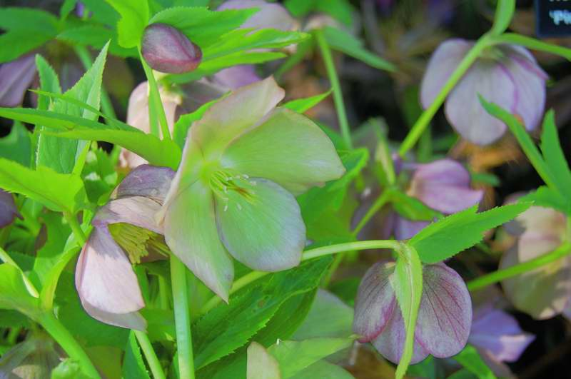 Photo of Genus=Helleborus&Species=x hybridus&Common=Pink Lady Lenten Rose&Cultivar='Pink Lady'