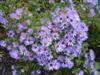 Photo of Genus=Aster&Species=oblongifolius&Common=Raydon's Favorite Aster&Cultivar='Raydon's Favorite'