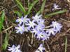 Photo of Genus=Chionodoxa&Species=luciliae&Common=Glory-of-the-Snow&Cultivar=