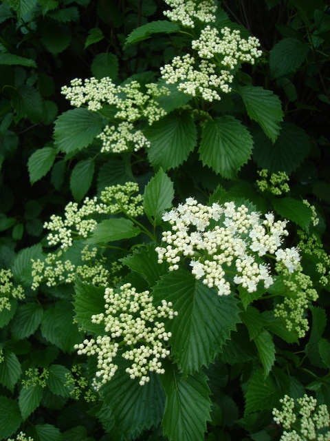 Picture of Viburnum dentatum  Arrowwood Viburnum