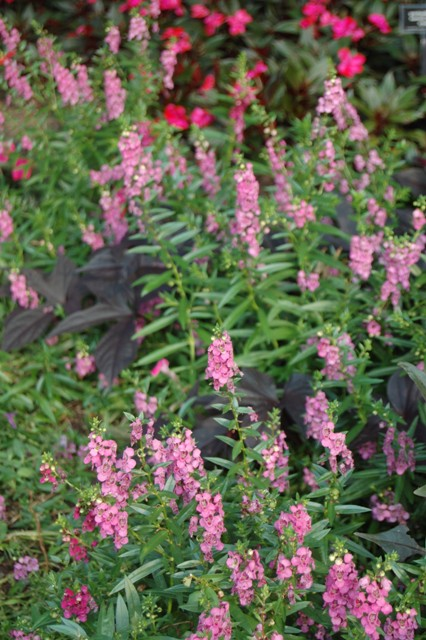 Picture of Angelonia angustifolia AngelMist® Rose Dark Improved