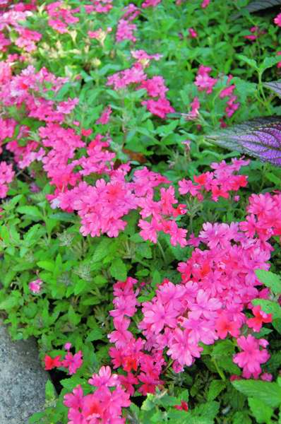 Picture of Verbena hybrid Superbena® Coral Red