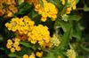 Photo of Genus=Lantana&Species=camara&Common=&Cultivar=New Gold